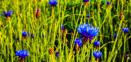 A bunch of cornflowers in a meadow photo