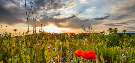Wild poppies at dawn with sun rising in the background at a meadow Stockfoto