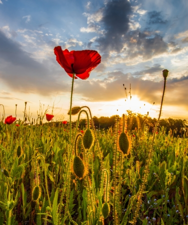 poppy: Wild poppies at dawn with sun rising in the background at a meadow Stock Photo