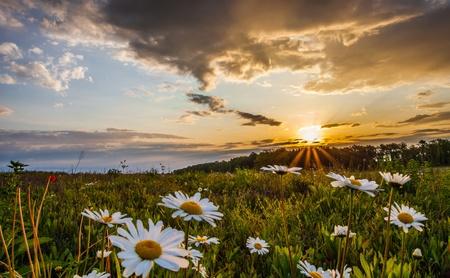 Leucanthemum vulgare ou marguerites yeux Oxe à un champ au lever du soleil