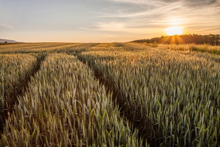 Wheat field and the rising sun photo