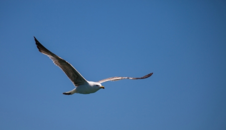 Lake Geneva Seagull Flying Stock Photo