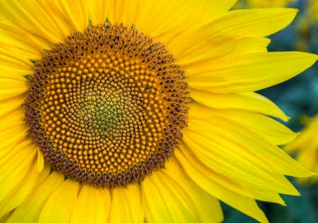 Sunflower in full bloom Banque d'images