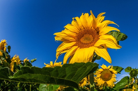 Sunflowers in full bloom photo