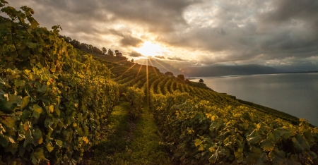 Vineyards at Lavaux, Switzerland during sunrise photo