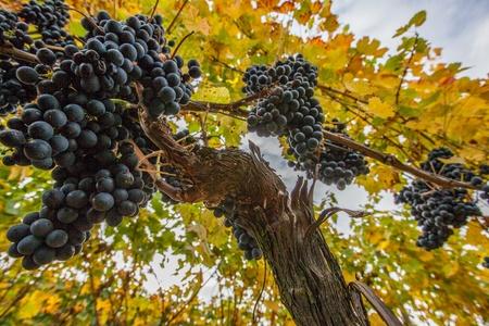 포도 수확: 잘 익은 포도는 가을에 수확을위한 준비