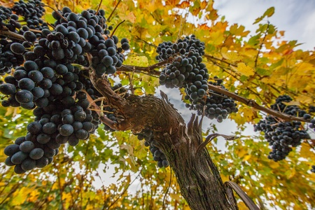 grapes on vine: Ripe grapes ready for harvest in autumn