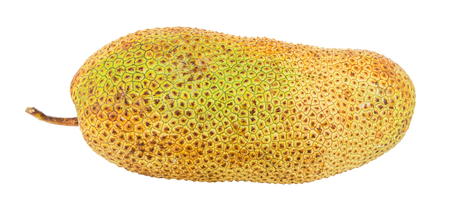 integer: Artocarpus integer, commonly known as cempedak, a fruit native to South East Asia region