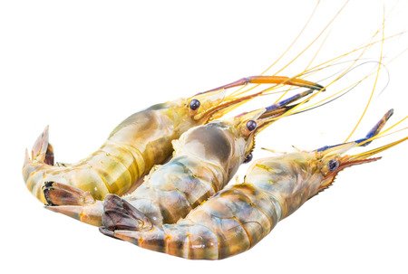 crustacea: Close up view of Macrobrachium rosenbergii also known as Giant River Freshwater  Prawn and locally known as udang galah in Malaysia over white background