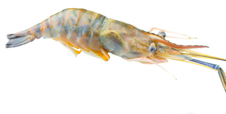Close up view of Macrobrachium rosenbergii also known as Giant River Freshwater  Prawn and locally known as udang galah in Malaysia over white background  photo
