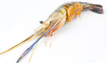 rosenbergii: Macrobrachium rosenbergii also known as Giant River Freshwater  Prawn and locally known as udang galah in Malaysia over white background