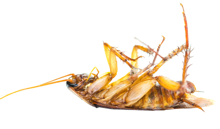 Dead cockroach on its back over white background