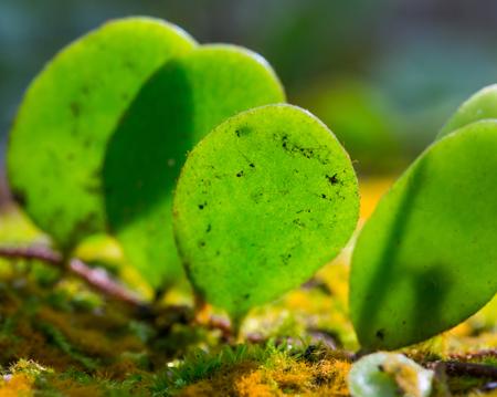 Pyrrosia piloselloides plant on moss Stock Photo - 23775551
