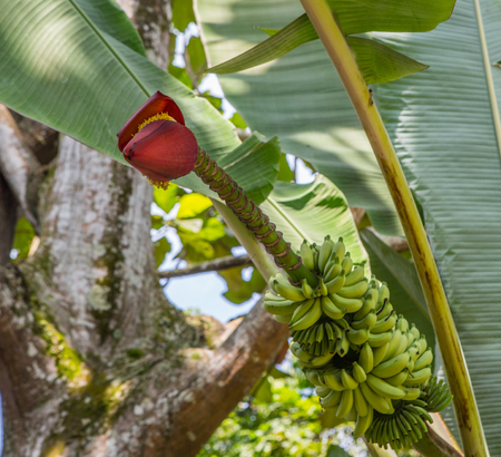 Banana tree, fruits, and its inflorescence photo