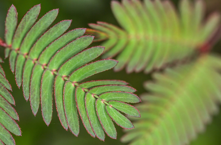 composite image: The leaves of Mimosa Pudica wild plant which are also called the sensitive plant, sleepy plant and the touch-me-not