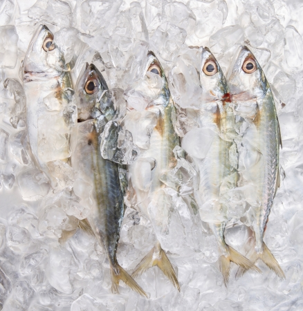 Fresh short-bodied mackerel preserved on ice cubes photo