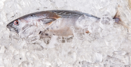 Fresh Euthynnus affinis, the kawakawa or mackerel tuna preserved on ice photo