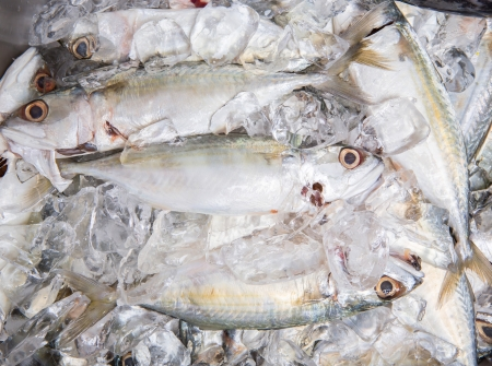 Fresh short-bodied mackerels preserved on ice photo