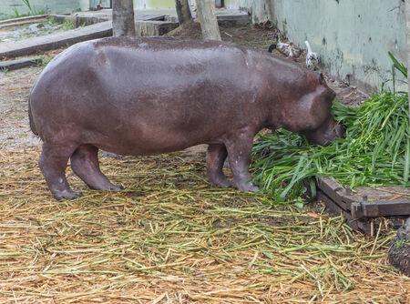 amphibius: Hippopotamus in captivity