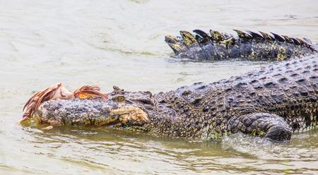 captivity: Saltwater crocodile in captivity Stock Photo