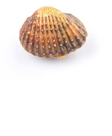 molluscs: Raw, fresh cockle over white background