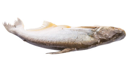 pangasius: Tropical Pangasius Sutchi freshwater fish over white background