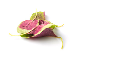 chinese spinach: Chinese red spinach leaves over white background
