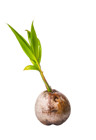 coconut seedlings: Young sprout of coconut of a coconut fruit over white background Stock Photo