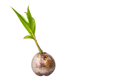 emerge: Young sprout of coconut of a coconut fruit over white background Stock Photo
