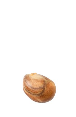 embryonic: Jackfruit plant seed over white background