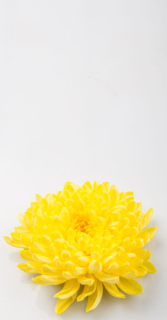 edible: Edible yellow chrysanthemum flower over white background