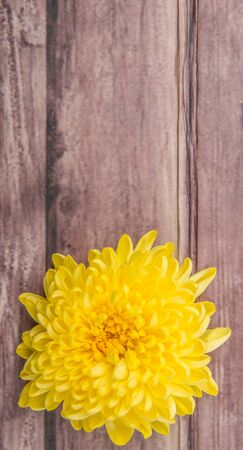 edible: Edible yellow chrysanthemum flower over wooden background