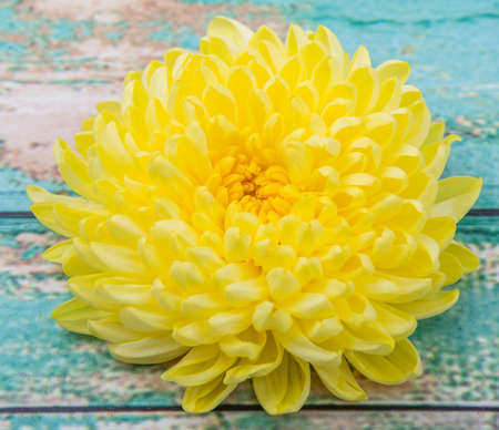 edible: Edible yellow chrysanthemum flower over wooden background