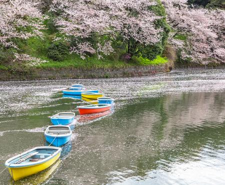 rowboats: Rowboats and cherry blossom at a lake in Chidorigafuchi, a popular sakura viewing spot in Tokyo, Japan