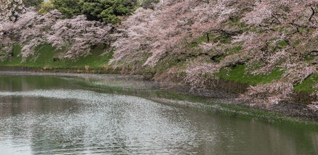 rowboats: april, beautiful, bloom, blooming, blossom, boats, branch, cherry, chidorigafuchi, chiyoda, floral, flower, garden, japan, japanese, lake, leisure, natural, nature, park, path, pink, row, rowboats, sakura, scenery, season, sightseeing, spring, tokyo, tour