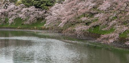 fleur de cerisier: avril, beau, floraison, fleur, bateaux, branche, cerise, Chidorigafuchi, chiyoda, floral, fleur, jardin, le japon, japonais, lac, loisir, naturel, nature, Parc, sentier, rose, ligne, chaloupes, sakura, paysage, saison, tourisme, printemps, tokyo, tour