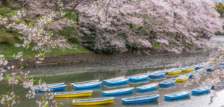 rowboats: Rowboats and cherry blossom at a lake in Chidorigafuchi, a popular sakura viewing spot in Tokyo, Japan
