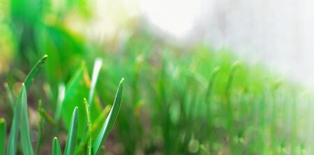 Spring nature background. Green grass and sunbeams. Green grass background. Stok Fotoğraf