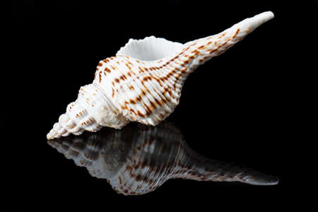 Close-up shell with reflection on black background. Studio shot of a Mediterranean sea shell