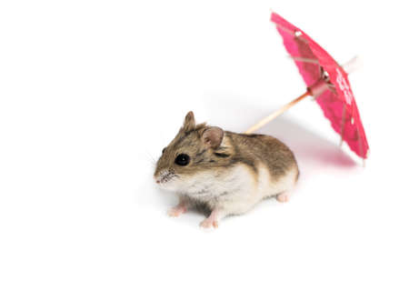 concern: small cute hamster in a studio on a white background with a red cocktail umbrella Stock Photo