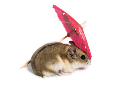 small cute hamster in a studio on a white background with a red cocktail umbrella Stock Photo
