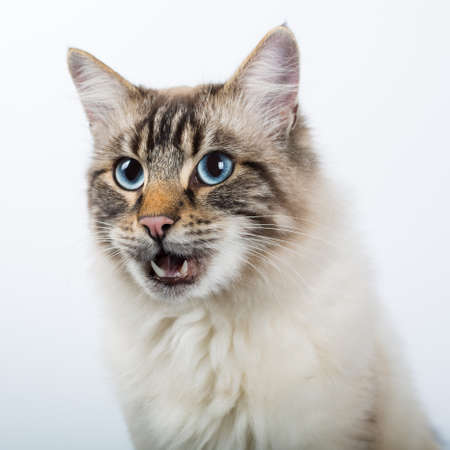 funny beautiful fluffy cat with an open mouth. the cat meows. close-up. white background