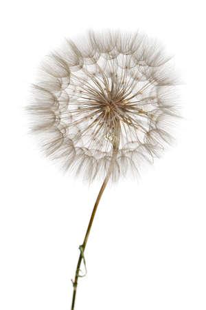 Primer plano de diente de león. Aire hermoso Bud sobre un fondo claro. Planta de semillero. Foto de archivo