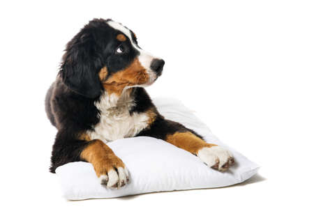 beautiful puppy bernese mountain dog on a white pillow on a white background.