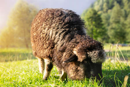 lamb eating grass. Close-up . Imagens