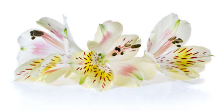 three white Alstroemeria flowers on a white background.