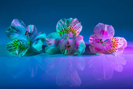 three white flower alstromeria with blue and pink lighting. Creative photo. Close up. macro