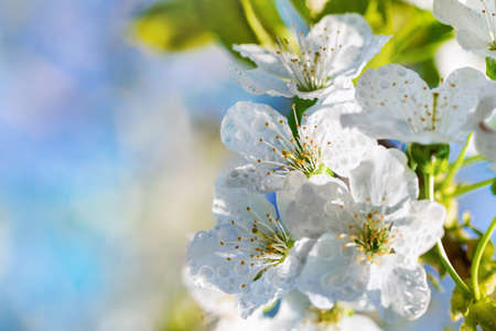 Beautiful white spring cherry flowers on a blurred blue background. Free space for text. Bright floral background