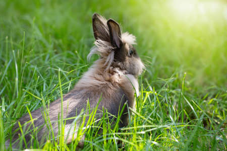 Brown rabbit on a green meadow. Cute furry animal on the grass. Bright sunshine Stock Photo