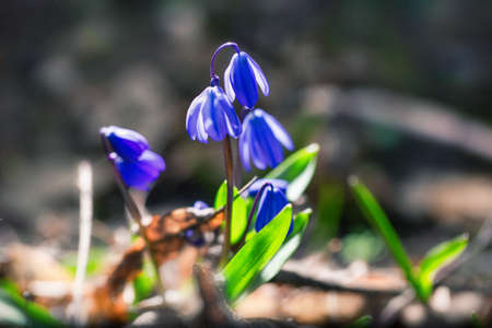 Blue bloom blooms in spring snowdrops. Scilla. Soft macro focus. Beautiful natural background
